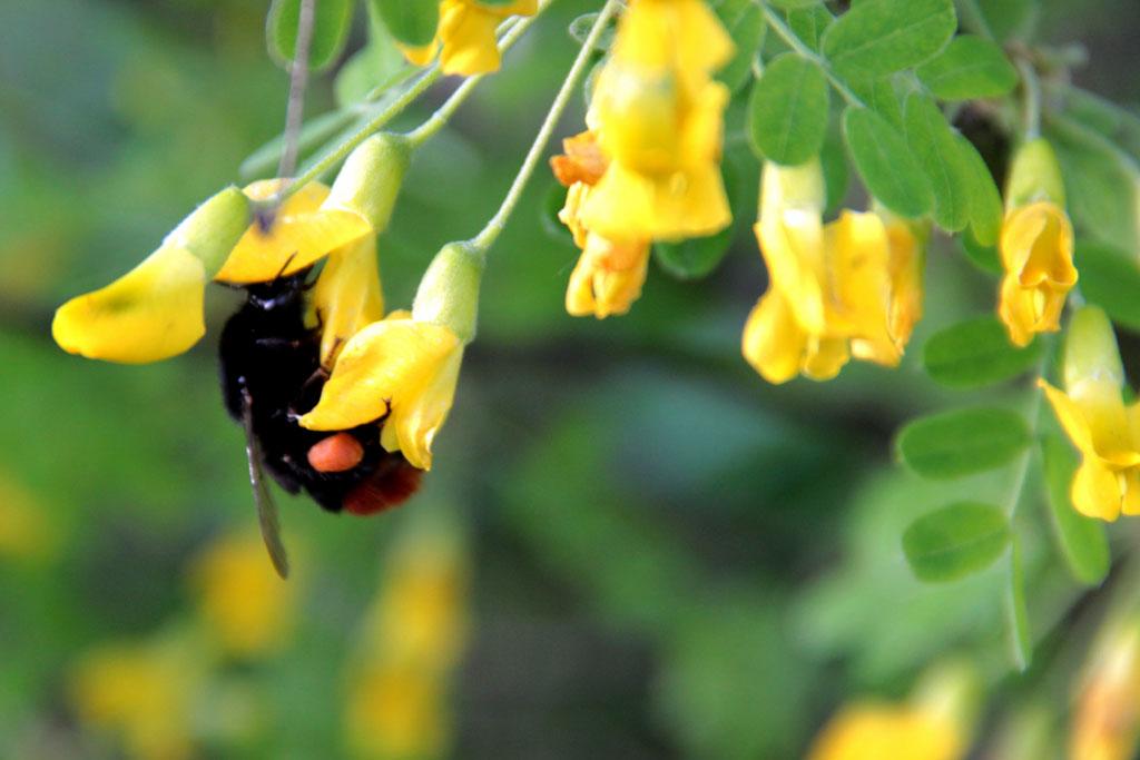 Трудяга-шмель заглядывает в каждый цветок акации.