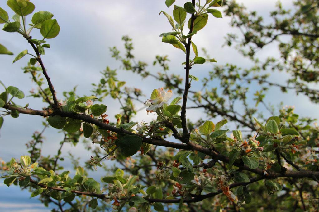 Последние цветы яблони - ее соседки уже полностью сбросили все лепестки и начали потихоньку готовить плоды.